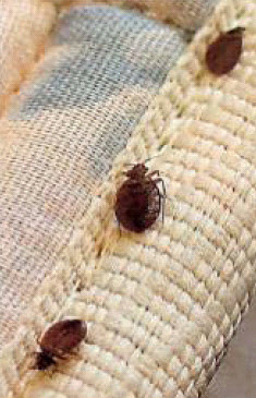 pictures of bed bugs