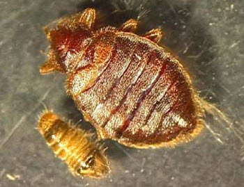 picture bed bug, picture carpet beetle