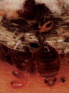 photo bed bug bites