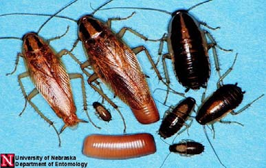 insects similar in appearance to bed bugs
