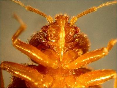 Picture bed bug - ventral view