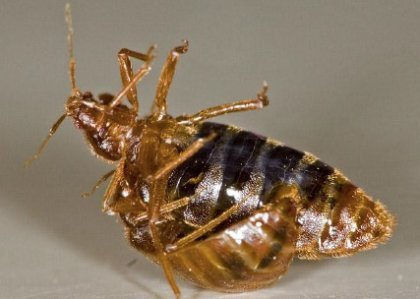 bed bug insemination mating