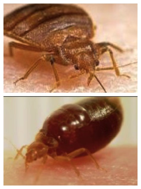 bed bugs before and after feeding