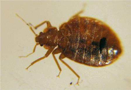 female bed bug picture - example 4