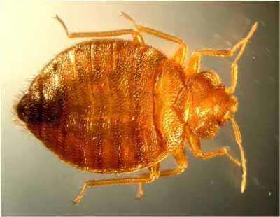 Magnified picture of bed bug - top view