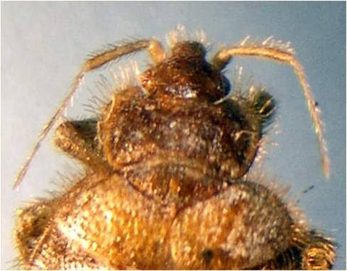 up and close dorsal view of adult bed bug