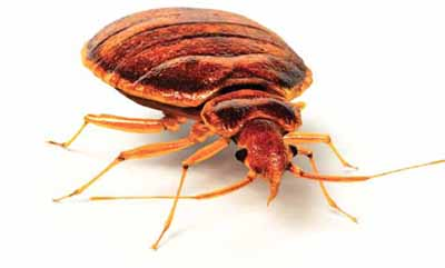 bed bug picture - magnified view