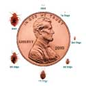 bed bugs pictures actual size