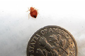 actual bed bug size compared to a dime