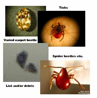 Comparison of Connecticut bed bugs to other insects