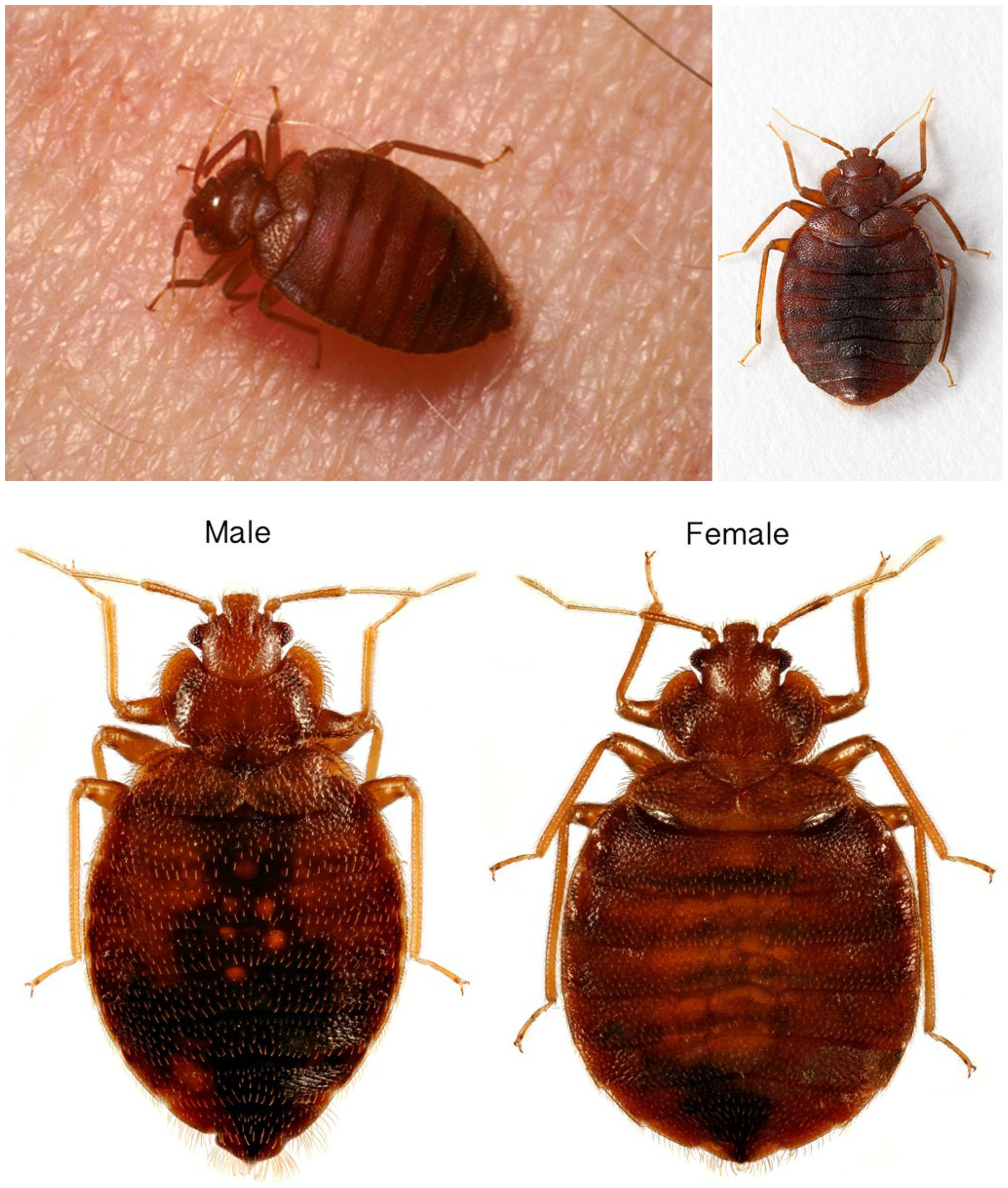 Collage of pictures of adult bedbugs, including pictures of male and female bedbugs and an adult bedbug on skin