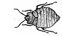 bed bug illlustration