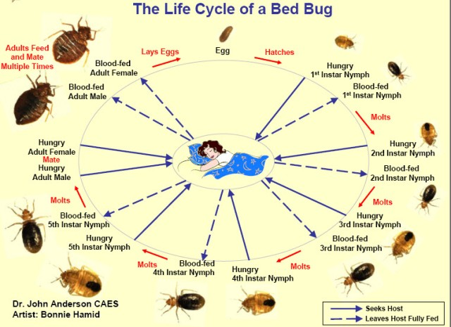 chart showing bed bug appearance at each stage of ifecycle