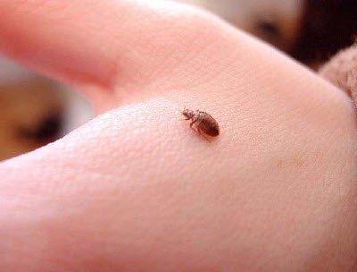 bed bug on hand