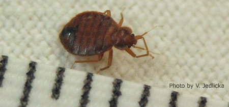 Adult bed bug on mattress