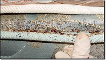 Picture of Bed Bugs on Mattress