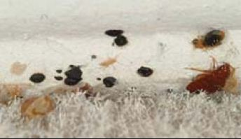 bed bug feces on edge of carpet
