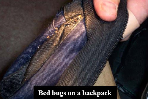 bed bug eggs on back pack