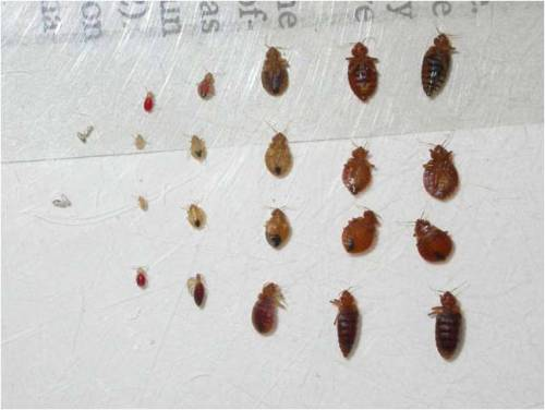 Picture of bed bugs at various life stages
