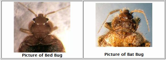 Side-by-side bed bug and bat bug