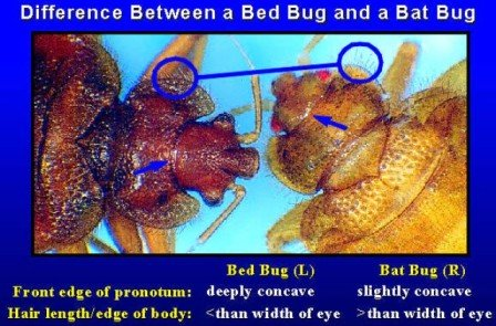 Picture of Bat Bug Compared to a Bed Bug