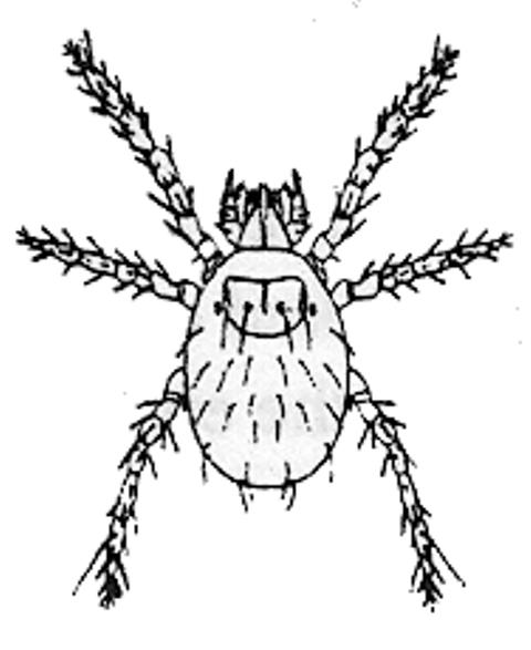chigger illustration