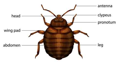 diagram of bed bug
