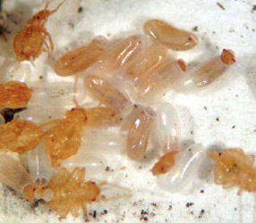 Bed Bug Egg Pictures Lifecycle And Removal Tips