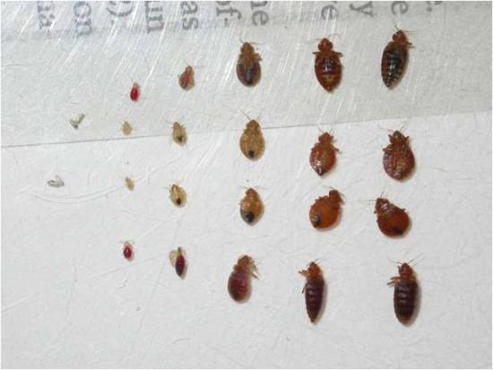 how to kill bedbugs at each stage of their lifecycle