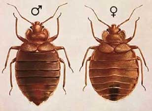 female and male bed bugs