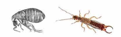 flea and earwig picture - side by side comparison