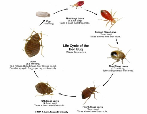 bed bug problem at each lifestage