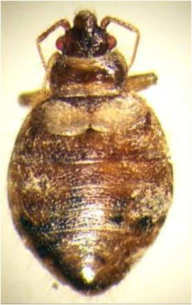 Bed Bug Identification Signs And Pictures