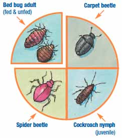 Pictures of insects that look like and are confused with bed  bugs