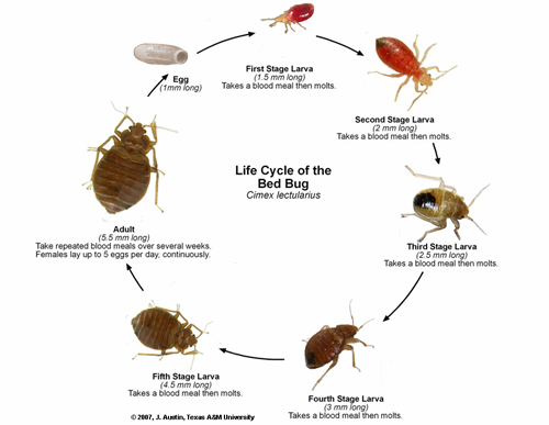 Bed Bugs Lifecycle pictures