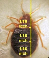 Adult Bed bug body measurements