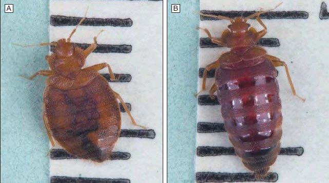 Picture of bed bug before feeding and picture of bed bug after feeding