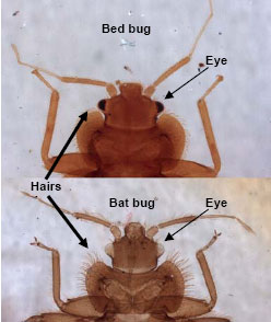 bed bug comparison to bat bug - side by side picture