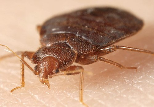 Bed Bug Bites: Pictures, Patterns, Symptoms and Remedy