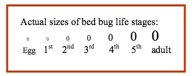 bed bugs size at different life stages