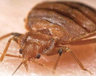 Magnified picture of bed bug - example 2