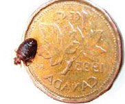 picture bed bug on penny - example 1