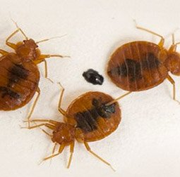 magnified view of 3 bed bugs
