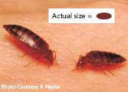 Picture showing bed bugs compared to actual size