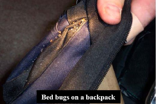 Bed bugs on a cloth backpack