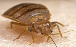 side view picture of bed bug
