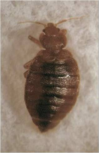 bed bug picture next to swallow bug