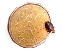 bed bug size reference image