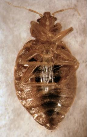 bed bug magnified ventral view