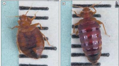 Picture Bed Bugs Before and After Feeding